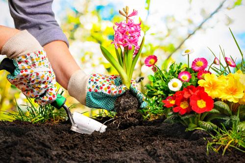 gardener hands planting a flower into the dirt.